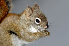 Squirrels. Close up photo .Very cute animal royalty free stock image