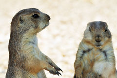 Squirrels Royalty Free Stock Images