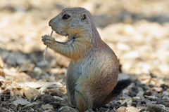 Squirrels Stock Images