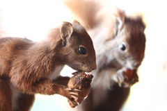 Squirrels Royalty Free Stock Photography