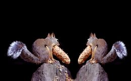 Squirrels. Showing their lunches with space for a greeting Stock Photos