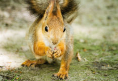 Squirrels Royalty Free Stock Image