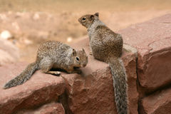 Squirrels. Royalty Free Stock Photography