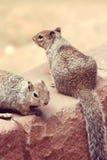 Squirrels. Stock Images