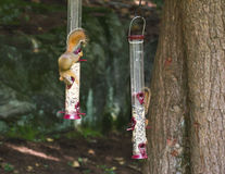 Squirrels ON Bird Feeder Stock Photography