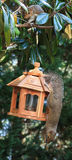 Squirrels-Bird feeder lessons. Royalty Free Stock Image