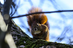 Squirrels on a branch. Squirrels in a cold winter`s day on a branch on food search in the Spreewald stock photos