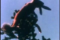 Squirrels climbing fir tree stock video footage