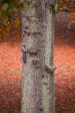 Squirrels are climbing on a tree in autumn Royalty Free Stock Images