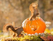 Squirrels confront fear. Red squirrels in a pumpkin head with the tails out Stock Photo