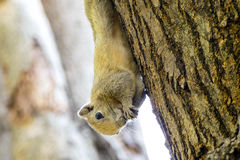Squirrels eat food. Small squirrel eating food on a tree in a park Royalty Free Stock Photos