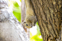 Squirrels eat food. Small squirrel eating food on a tree in a park Stock Photo
