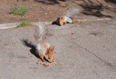 Squirrels eat nuts Stock Photography