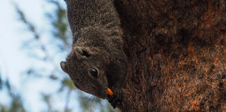 Squirrels eat snack. Squirrels on the tree and pick up food to eat in the evening Royalty Free Stock Photo