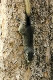 Squirrels are on the trunks of trees in the park. royalty free stock photo