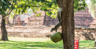 Squirrels eating the coconut Stock Photography
