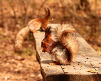 Squirrels eating nuts on the bench Royalty Free Stock Photo