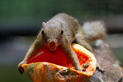 Squirrels eating papaya. Royalty Free Stock Photography