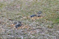 Squirrels eating peanuts outside royalty free stock images