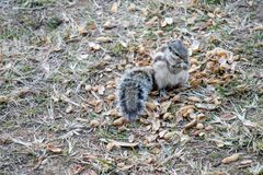 Squirrels eating peanuts outside royalty free stock photography
