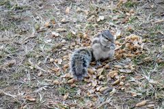 Squirrels eating peanuts outside stock images