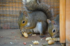 Squirrels Eating Peanuts. Two juvenile squirrels trying to shell peanuts. Babies were orphaned and cared for by an animal rehabber until able to survive on their royalty free stock images