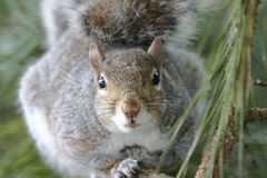 Squirrels eye view. A squirrel relaxes on a branch Royalty Free Stock Images