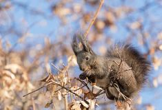 Squirrels foraging in trees. There are many squirrels in the pine forest in northeast China. There are nearly 212 species belonging to 35 genera in the world and stock image