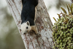 Squirrels are found all over the world. Royalty Free Stock Photo