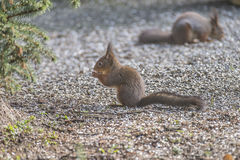 Squirrels in the garden Royalty Free Stock Photography