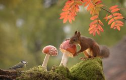 Squirrels and great tit with mushrooms Stock Image