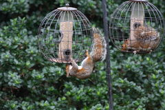 Squirrels invading bird feeders Royalty Free Stock Photos