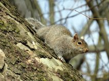 Nosey Squirrel Royalty Free Stock Photos