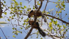 Squirrels are kissing. Sri Lanka stock footage
