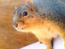 Squirrels. That like to hangout around my house royalty free stock photo