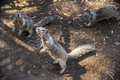 3 Squirrels. Looking for a handout royalty free stock images