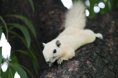 White squirrels on the tree. Founded in squirrels zone, Wachirabenchathat Park (BKK,Thailand) where people can play with them royalty free stock images