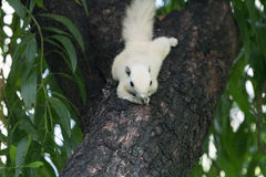 White squirrels on the tree. Founded in squirrels zone, Wachirabenchathat Park (BKK,Thailand) where people can play with them stock photo