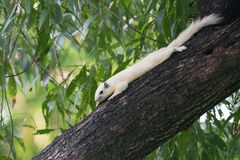 White squirrels on the tree. Founded in squirrels zone, Wachirabenchathat Park (BKK,Thailand) where people can play with them stock images