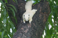 White squirrels on the tree. Founded in squirrels zone, Wachirabenchathat Park (BKK,Thailand) where people can play with them royalty free stock photo