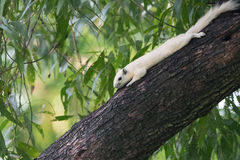 White squirrels on the tree. Founded in squirrels zone, Wachirabenchathat Park (BKK,Thailand) where people can play with them stock photography