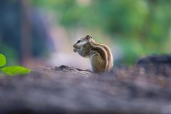 Squirrel on the go moving ahead stock photography