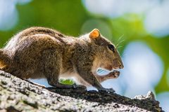 Squirrels. Are members of the family Sciuridae, a family that includes small or medium-size rodents. The squirrel family includes tree , ground , chipmunks stock photos