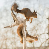 Squirrels on the move Stock Image