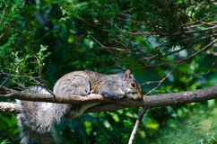 A Squirrel's Nap time Royalty Free Stock Image