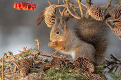 Squirrels nature Royalty Free Stock Images