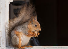 Squirrels o alimento Fotografia de Stock Royalty Free