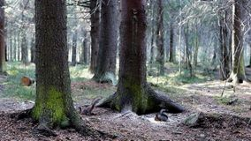 Squirrels in pine forest. Two squirrels in spring pine forest stock video footage