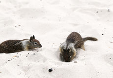 Squirrels. Playing on the beach stock image