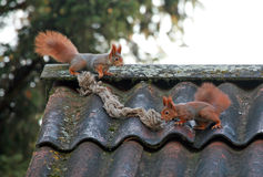 Squirrels playing Royalty Free Stock Photography